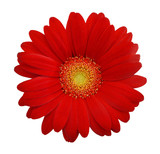 Red daisy on white background