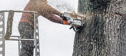 Tree surgeon in platform cutting thick tree trunk with chainsaw.