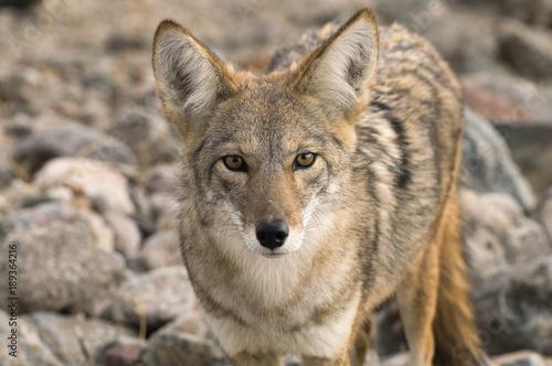 Aluminium Wolf Coyote (Canis latrans) in the California desert.