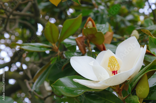 Big White Magnolia Flower On A Tree Evergreen Tree Or Shrub Of