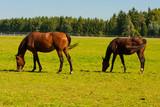 gehende Pferde auf der Weide