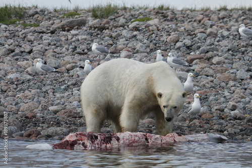 Fotobehang Ijsbeer Polar Bear (Ursus Maritimus) eating a whale carcass along the shoreline near Arviat, Nunavut Canada