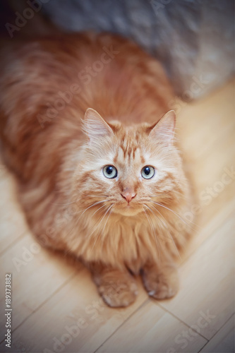 Portrait of a fluffy striped cat, red color, photographed from above.