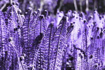 Fern - leaves and curls in a trendy color concept of the year ultra violet. Fashion Colour Trends on design wallpapers.