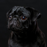 Black pug dog, on a black background, portrait