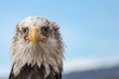White Headed  Eagle Portrait.