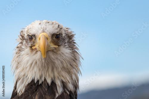 Aluminium Eagle White Headed Eagle Portrait.