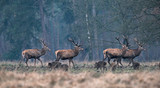 Group of red deer stag and wild boar in forest meadow. - 189387868