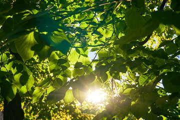 The sun's rays shine through the green foliage of the trees.