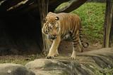 The Malayan tiger (Panthera tigris tigris)