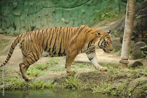 Fotobehang Tijger The Malayan tiger (Panthera tigris tigris)