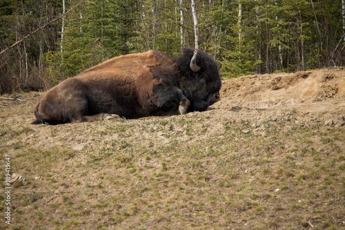 Aluminium Bison Wild Bison