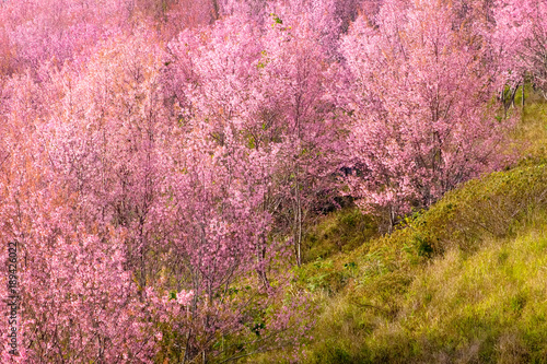 Staande foto Candy roze Thailand's Cherry Blossom at Phu Lom Lo