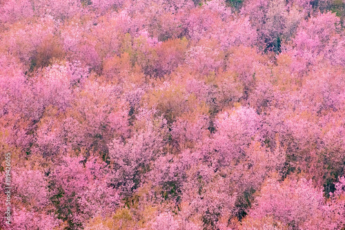 Canvas Candy roze Thailand's Cherry Blossom at Phu Lom Lo
