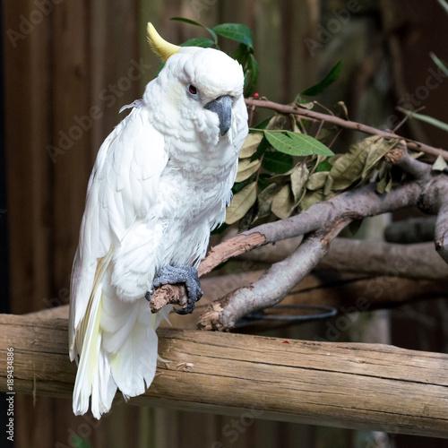 Fotobehang Papegaai White parrot