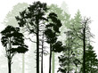 evergreen trees in forest on white - 189464070