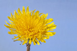 One yellow dandelion in a blue background. Free space.