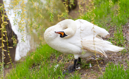 Aluminium Zwaan Beautiful white swan on nature in spring
