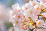 桜の花 - 189470260