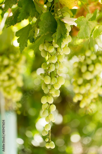Green grapes in the garden in summer