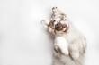 Leinwanddruck Bild - Funny studio portrait of the smilling puppy dog Australian Shepherd lying on the white background, giving a paw and begging