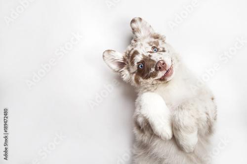 Leinwanddruck Bild Funny studio portrait of the smilling puppy dog Australian Shepherd lying on the white background, giving a paw and begging