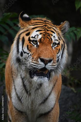 Fotobehang Tijger Close up portrait of mature Siberian tiger male