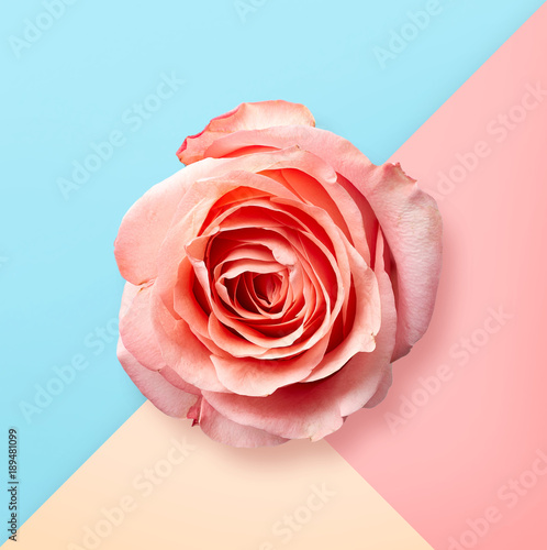 Pink rose on pastel colorful background