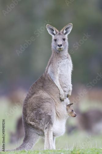 Aluminium Kangoeroe Kangourou gris