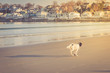 English setter playing on the beach
