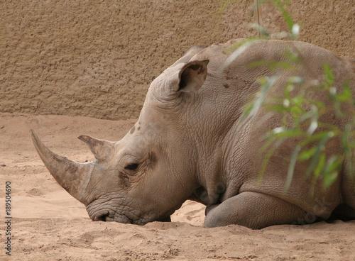 Aluminium Neushoorn white rhino lounging