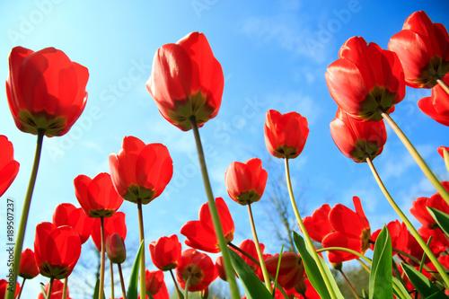 Aluminium Rood Blühende Tulpen im Frühling