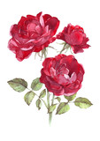 wild red rose watercolor