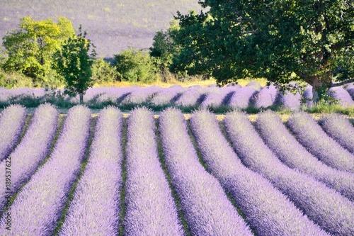 Fotobehang Purper Blooming lavender fields , with trees, in Drôme Provencale, in France.