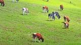 Dairy cows pasturing on green meadow. Idyllic cattle farmland landscape - 189559442