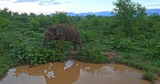 Big asian elephant reflecting in muddy pond at early morning and picking fresh green leaves from ground to eat. Wild nature environment of Udawalawe national park in Sri Lanka - 189560201