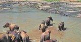 Many elephants in large herd enter to water and cross river at sunny day in Sri Lanka national park. Beautiful and amazing wildlife nature in Asia - 189560436