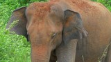 Close up view of sri lankan elephant head and face. Wild animal flapping with ears slow motion video - 189560441
