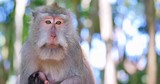 Close up face and eyes of mother monkey long-tailed macaque with infant baby monkey in tropical forest. Asian wildlife nature beautiful scene - 189560820