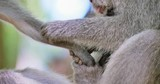 Close up of monkey hands clean fur from fleas and small infant baby macaque protected by mother in tropical forest in Bali, Indonesia. Wild asian animals nature scene - 189561242