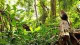 Monkey sitting on tree in wilderness of Indonesia jungle forest at sunny day - 189561263