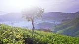 Mountain tea growing on highland plantation in Nywara Eliya of rural Sri Lanka. Bright sun light at fresh and cool weather create best enviroment for high quality harvest. Beautiful landscape panorama - 189562609