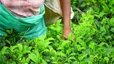 Woman picking and collecting fresh green teal leaves on rural agricultural field plantation in Sri Lanka highlands - 189562646