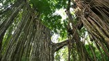 Beautiful ancient tree overgrown with roots and branches. Tropical jungle forest - 189562679