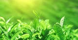 Wind moves and shakes fresh tea leaves frowing on green hills under sun light. Blurred bokeh background of indian nature - 189562818