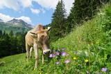 Kuh auf Weide, Blumenwiese im Gebirge - 189580236