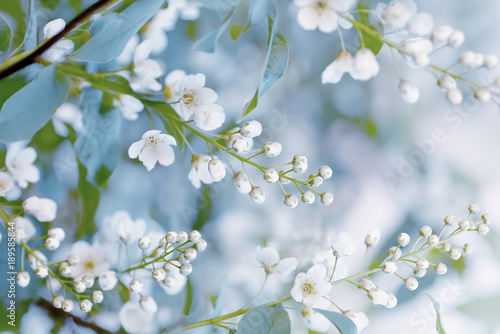 Fototapety, obrazy : Floral spring background, soft focus. Branches of blossoming bird-cherry (Prunus padus) in spring outdoors macro in vintage light blue pastel colors. Delicate elegant airy artistic image of spring.