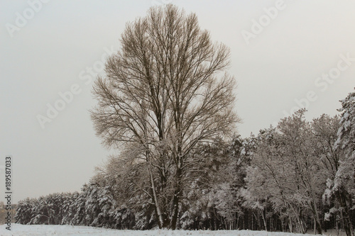 Birch trees in a snowy forest in black and white.