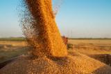 Harvesting wheat. - 189611850