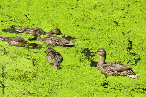 Foto op Canvas Lime groen mother duck with ducklings floating in a forest lake overgrown with duckweed